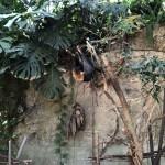 インドオオコウモリ